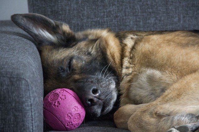 A German Shepherd Dog Sleeping on the Couch